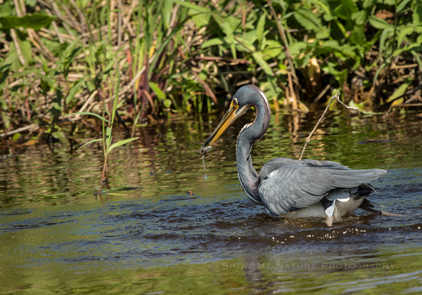 Tricolored Heron with Fish