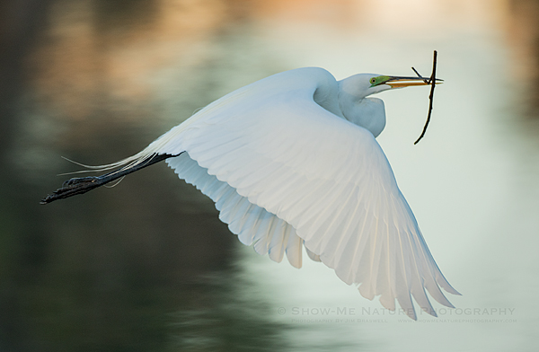 Great Egret with nest material