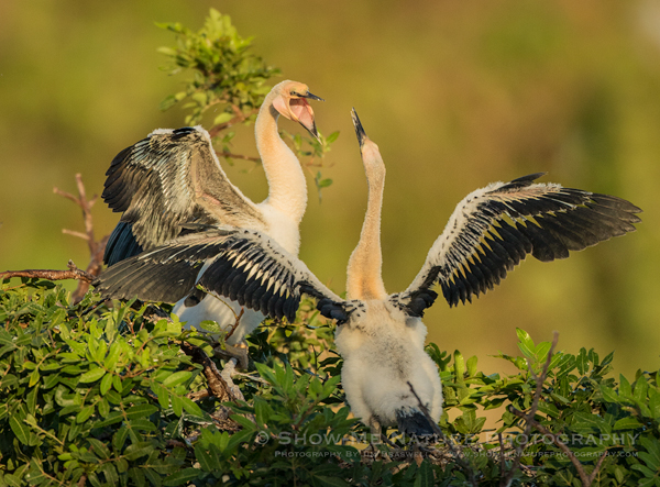Juvenile Anhingas in a Sibling Dispute in the nest