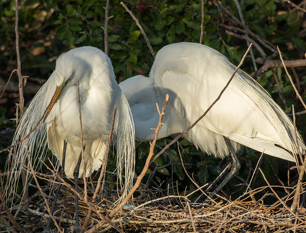 Pair of Great Egrets at nest with 3 blue eggs