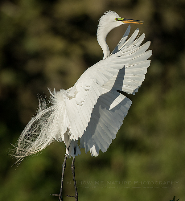 Great Egret landing in the rookery