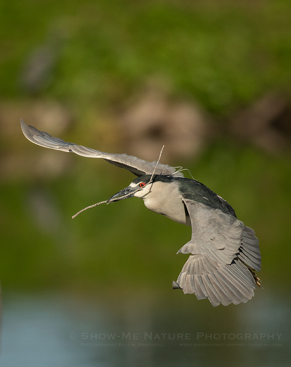 Black-Crowned Night Heron with Nesting Material