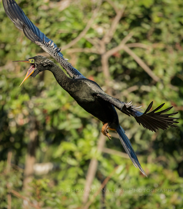 Male Anhinga arriving at the rookery