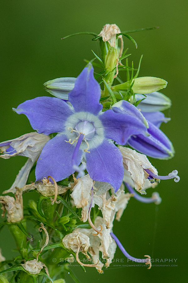 Tall Bellflower wildflower