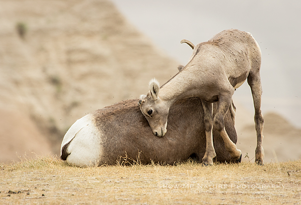 Bighorn Sheep lamb nuzzling against mom