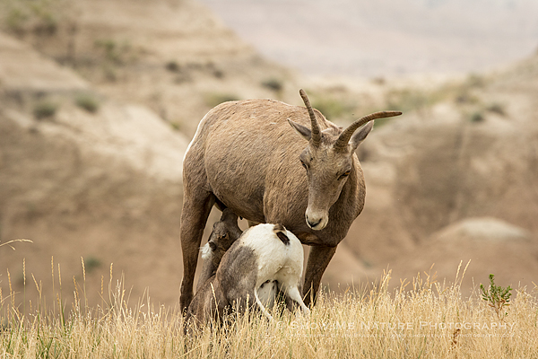 Bighorn Sheep lamb nursing