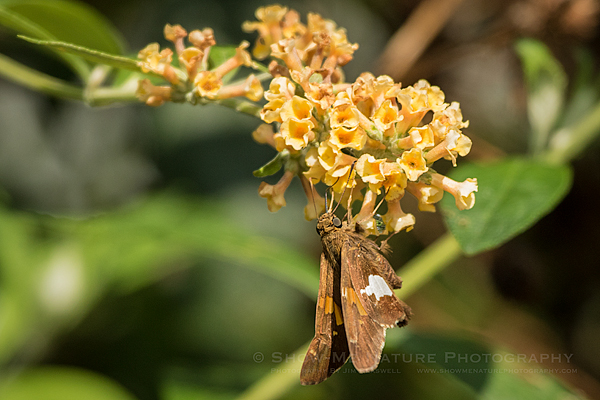 White-spotted Skipper butterfly