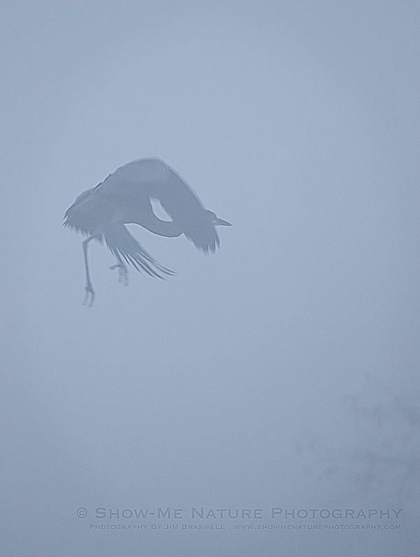 Great Blue Heron in heavy fog