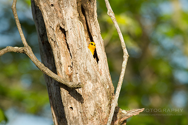 Prothonotary Warbler hunting insects