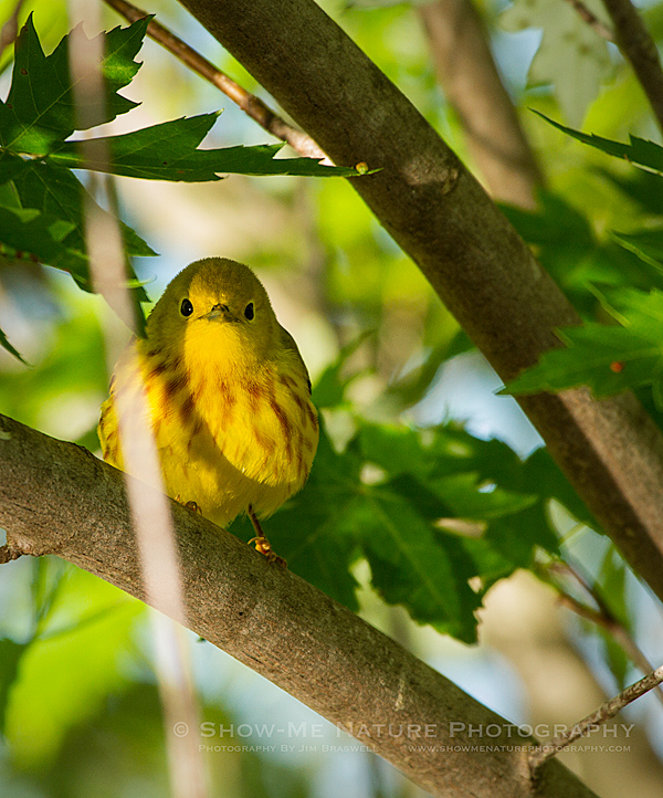 Yellow Warbler foraging in the trees above the water