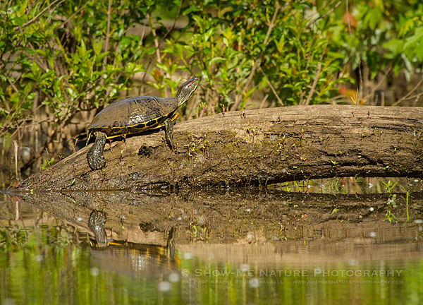Red-eared Slider sunning in the creek