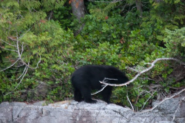 Black Bear foraging for berries