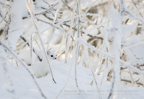 Short-tailed Weasel in snow