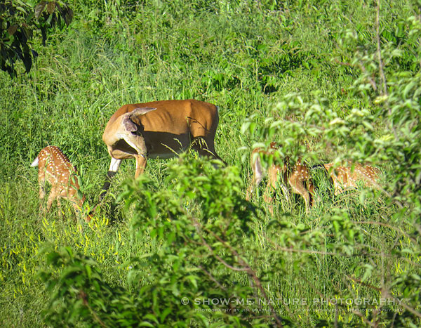 White-tailed Deer doe with 3 young fawns