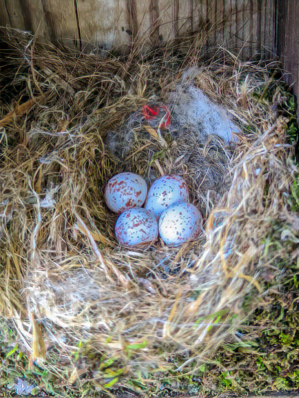 Black-capped Chickadee eggs in a nest