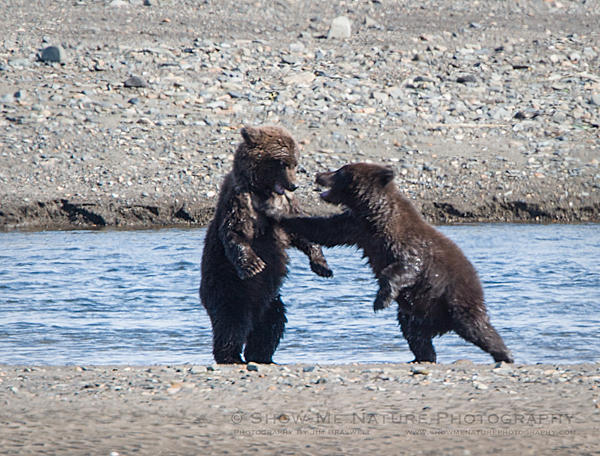 "Brown Bear cubs playing ""Tag"""