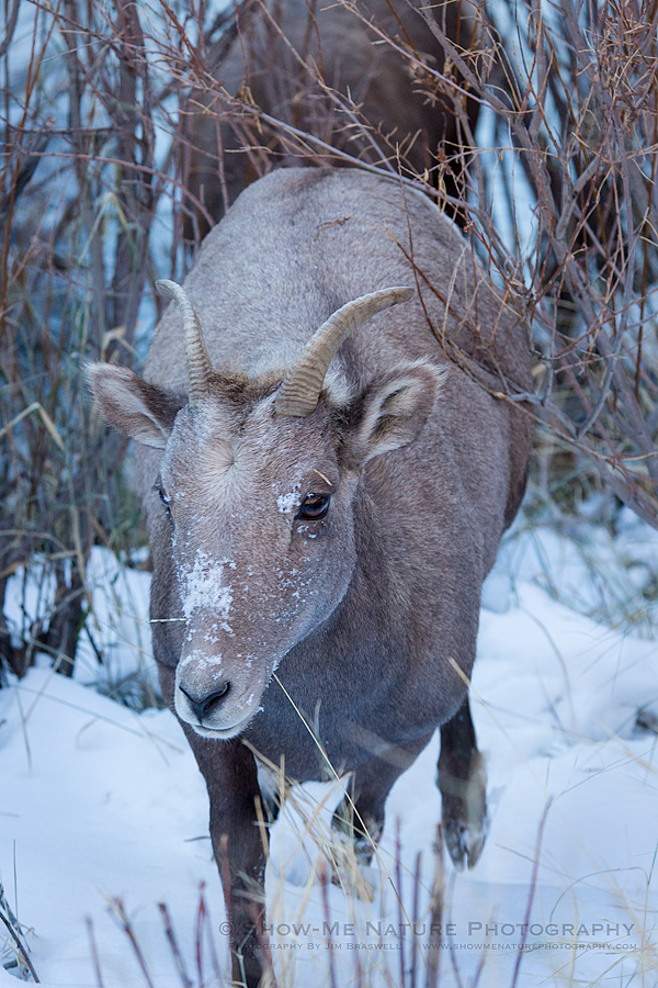Bighorn Sheep ewe, with snow on the face