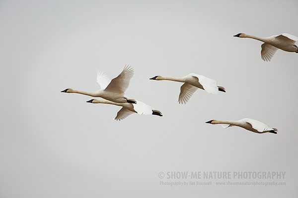 Trumpeter Swans flying over the refuge
