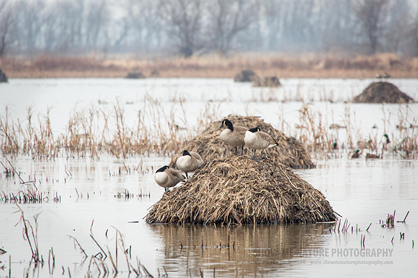 Canada Geese on muskrat hut