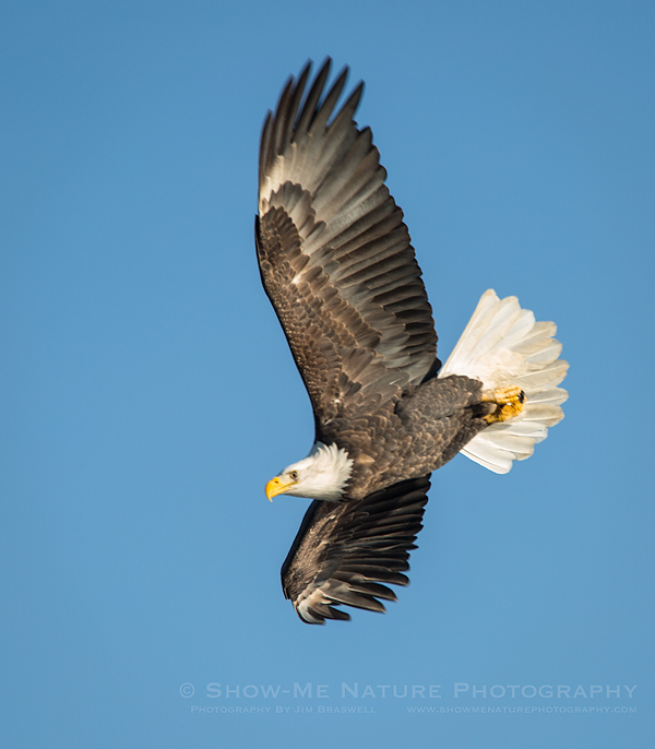 Adult Bald Eagle flying over the Mississippi River