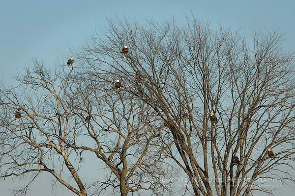 Bald Eagles gathered in tree overlooking the river