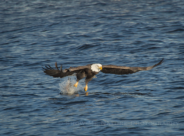 Adult Bald Eagle fishing the Mississippi River