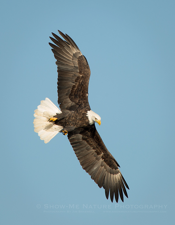 Adult Bald Eagle making a sharp bank over the river