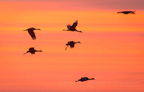 Sandhill Cranes returning to the river to roost