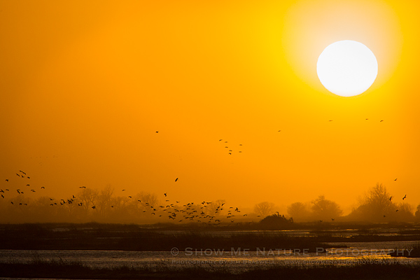 Sandhill Cranes returning to the river to roost, as the sun begins to set