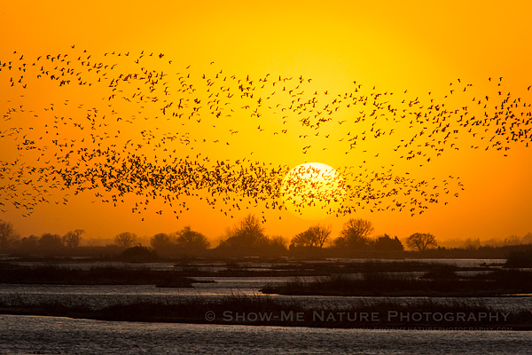 Sandhill Cranes returing to the Platte River to roost, as the sun sets