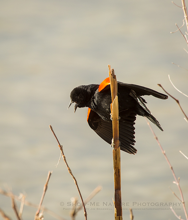 Male Red-wing Blackbird