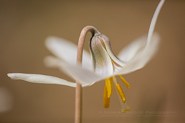 Trout Lily (Dog-tooth Violet)