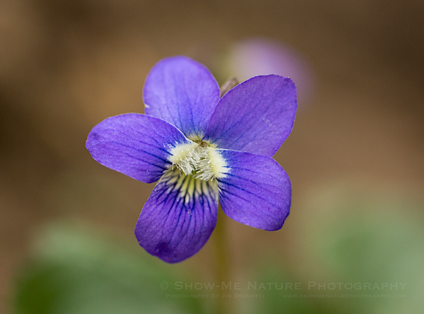 Common Violet wildflower