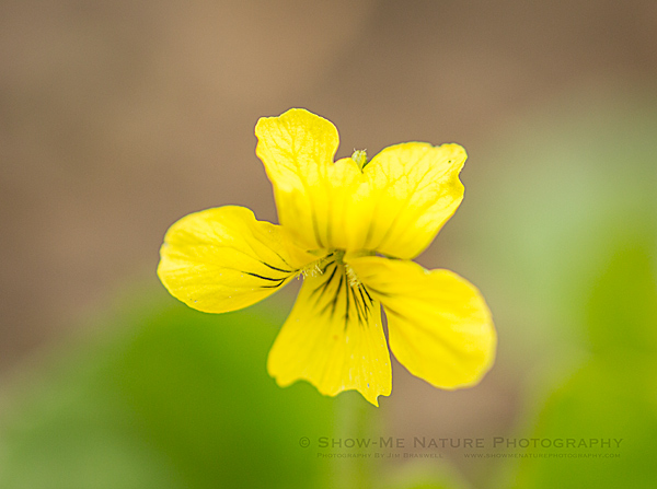 Yellow Violet wildflower