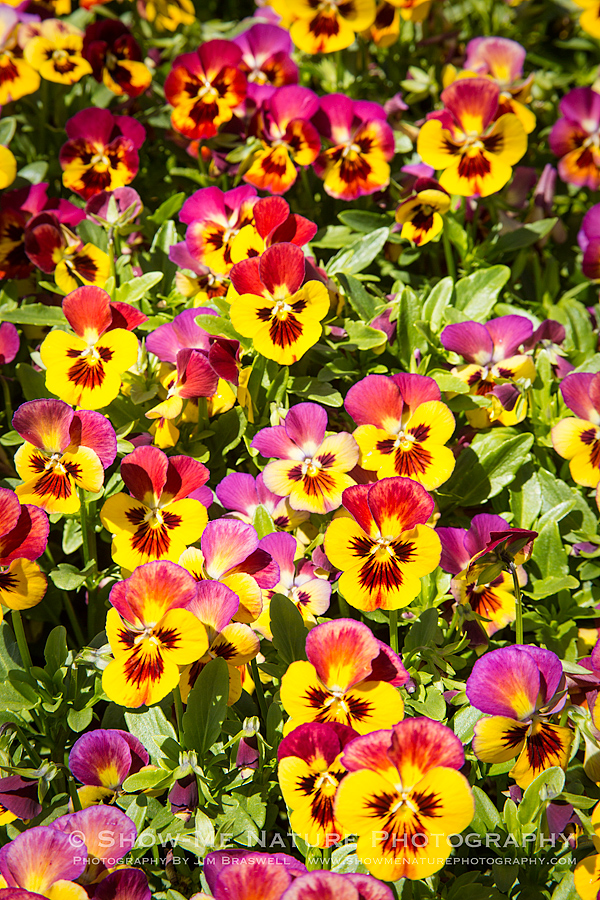 Violas in bloom