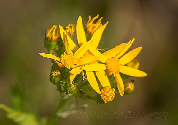 Squaw-weed wildflower
