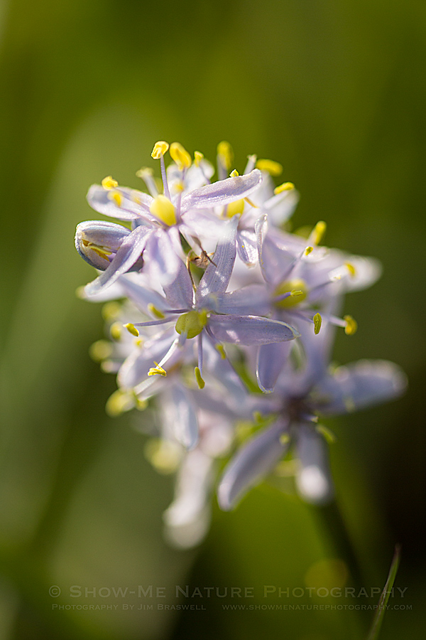 Wild Hyacinth wildflower
