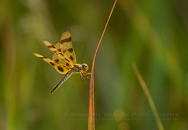 Halloween Penant Dragonfly