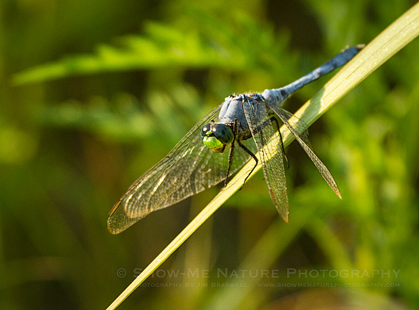 Male Eastern Pondhawk dragonfly