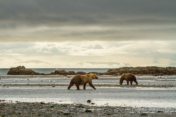 Brown Bears on the Hallo Bay coast