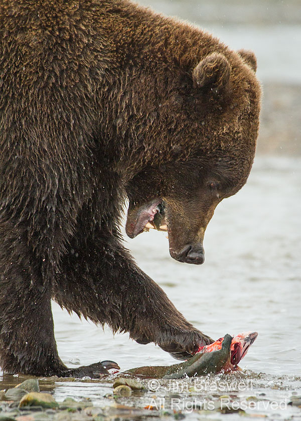Brown Bear feasting on a fresh salmon