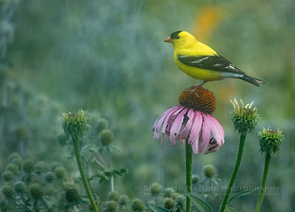 American Goldfinch male on Purple Coneflower