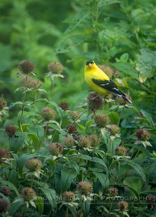American Goldfinch male on Horsemint wildflowers