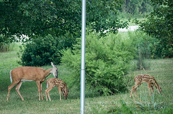 White-tailed Doe with twin fawns