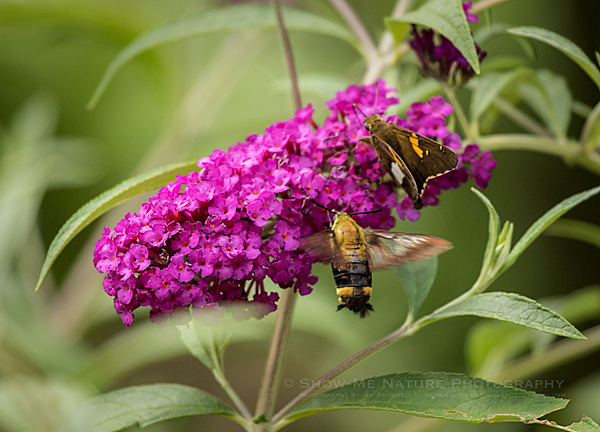 Clearwing Hummingbird Moth and Silver-spotted Skipper