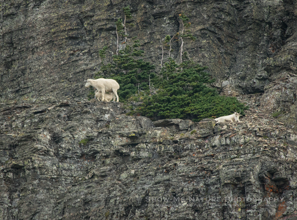 Mountain Goat nannies and a kid
