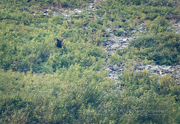 Black Bear seeks berries in a mountainside berry patch