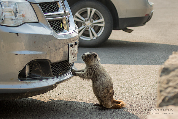Hoary Marmot checking out a car