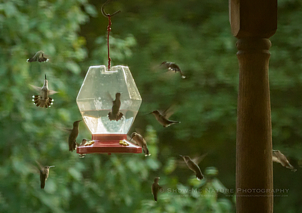 Hummingbirds frenzy feeding before migrating