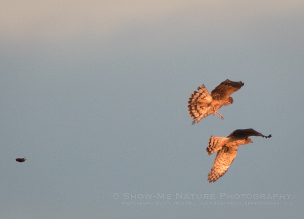 Northern Harrier Hawks